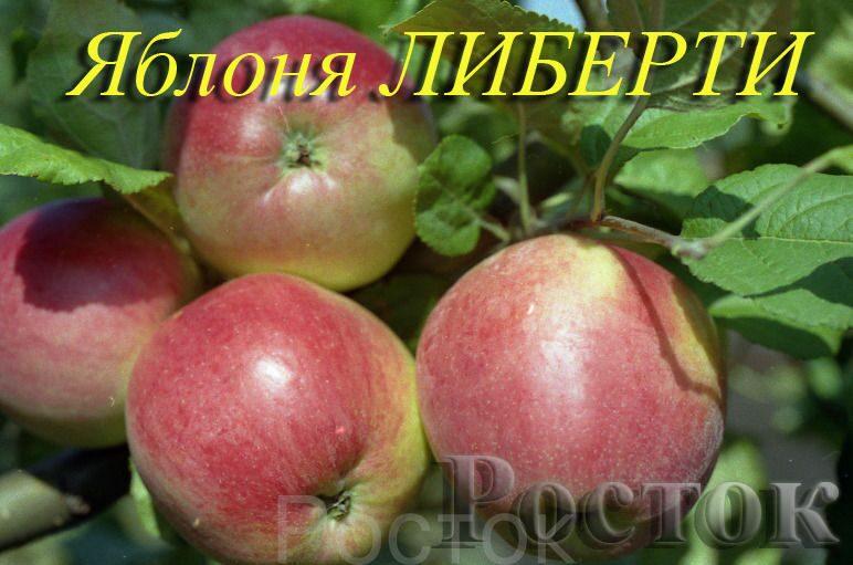 """на клоновом подвое 62-396.  ООО Агрофирма  """"Росток """" п.Волоконовка.  Артикул."""