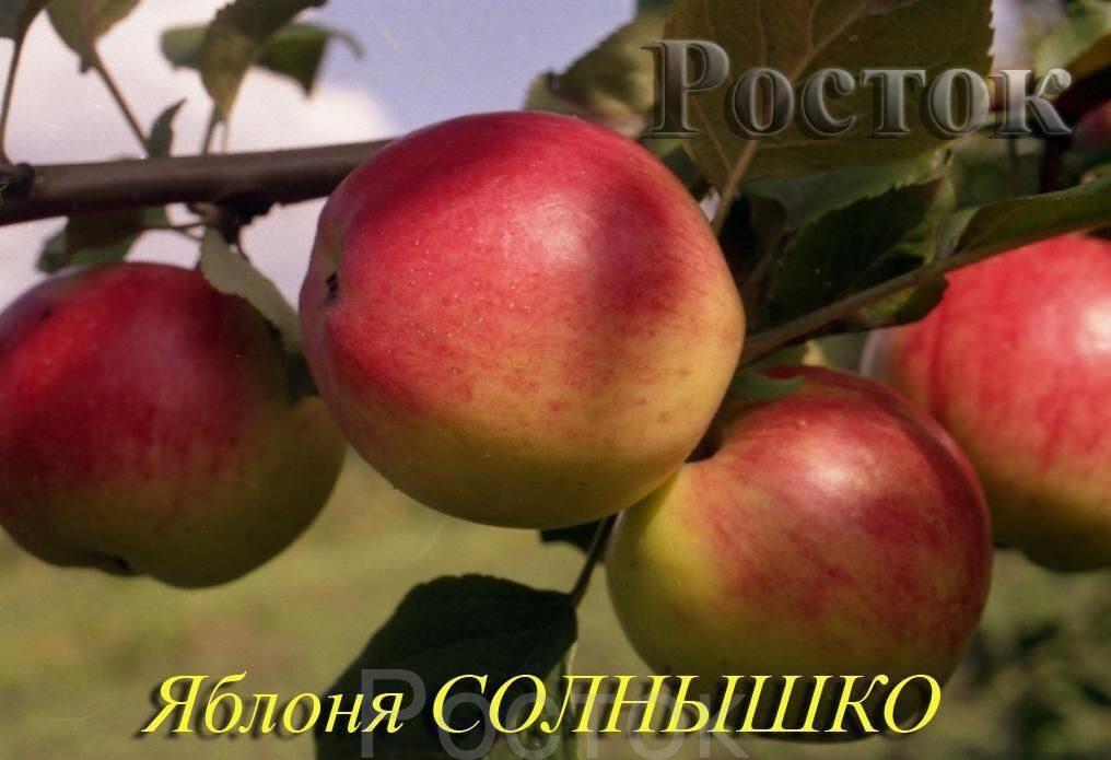 описание яблоня фото солнышко